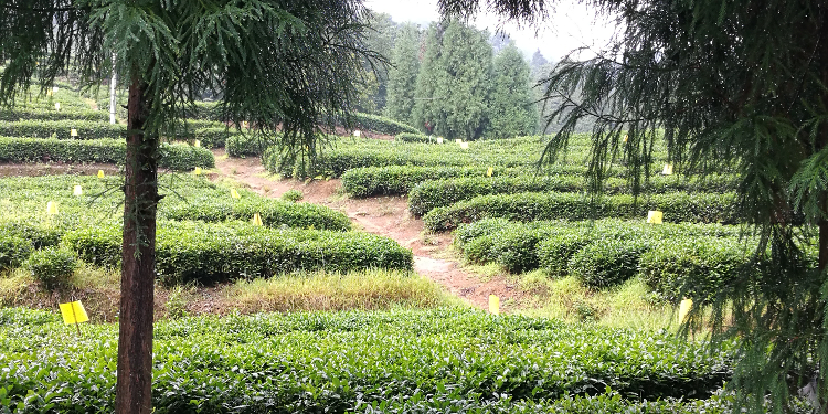 Tea sourcing impressions