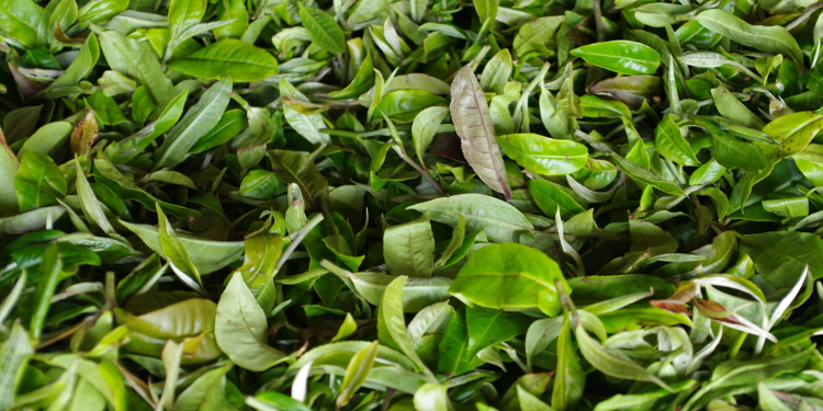 Spreading or withering tea leaves